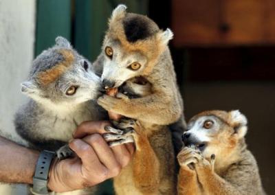 Lemurs are feed by a caretaker at Antananarivo's Tsimbazaza Zoo Madagascar, in this December 5, 2006 file photo. REUTERS/Radu Sigheti/Files