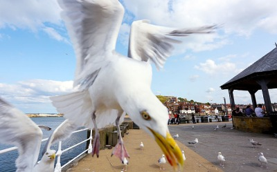 Pictured - The seagulls can be seen dive bombing and flocking towards Alex's camera. See Ross Parry copy RPYSEAGULLS. A plucky photographer has captured the terror of a SEAGULL attack after they swooped on his camera. Brave Alex Newsome, 24, headed to the seaside to get a glimpse of being surrounded by flocks of the food-snatching birds. The images show a birds-eye view of the seagulls as they swoop down and attack the camera with spread wings and open beaks. The snaps of the birds that have long plagued holiday makers and beachgoers, were taken in Whitby, North Yorks.