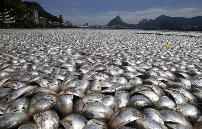 thousands-of-twaite-shad-fish-died-in-the-rodrigo-de-freitas-lagoon-in-rio-in-april