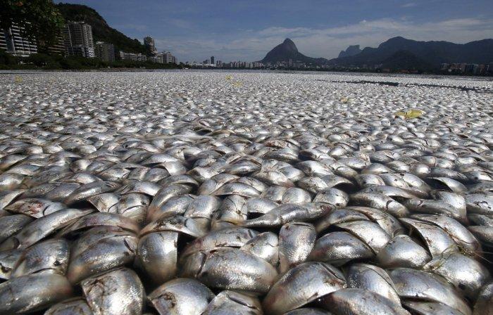 thousands-of-twaite-shad-fish-died-in-the-rodrigo-de-freitas-lagoon-in-rio-in-april