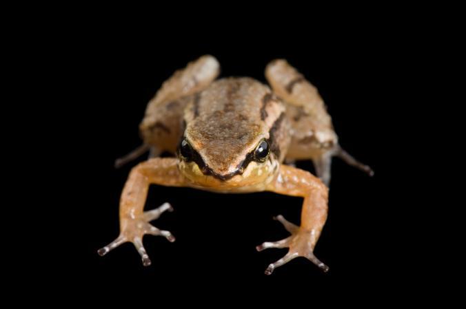 Volcano Frog
