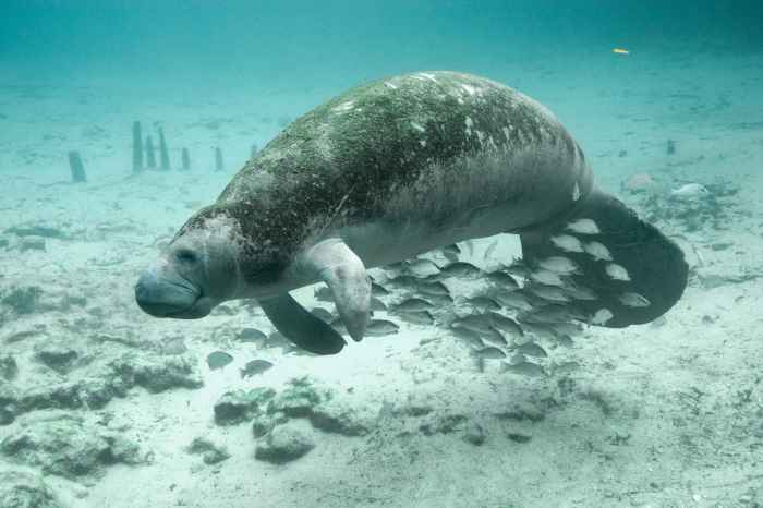 Underwater_photography_of_fish_and_manatee