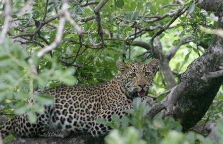 A leopard perches in a tree in South Africa's Kruger National Park