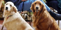39_golden_retrievers_dark_and_light