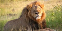 55_cecil_the_lion_at_hwange_national_park_4516560206