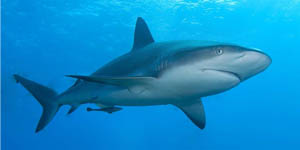 64_caribbean_reef_shark