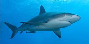 64_caribbean_reef_shark