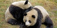 71_pandas_giant_panda-wolong-sichuan-china_2150603391-1-200x100