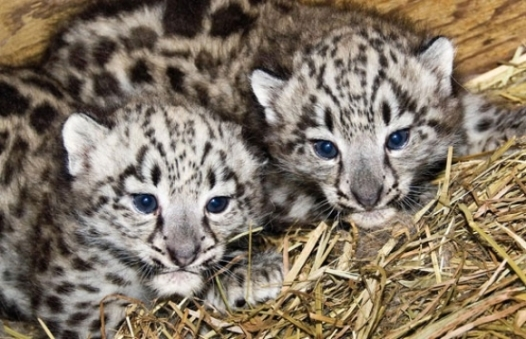 l-baby-snow-leopards