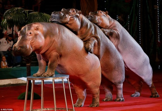 360c591000000578-3679807-each_hippopotamus_weighs_approximately_a_ton_in_a_2014_hippo_sho-a-31_1467927216083