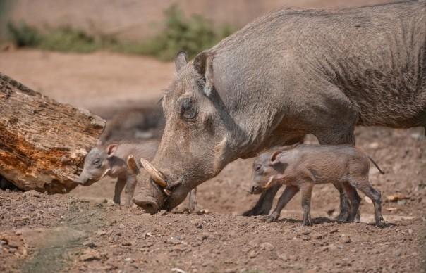 warthogs-24