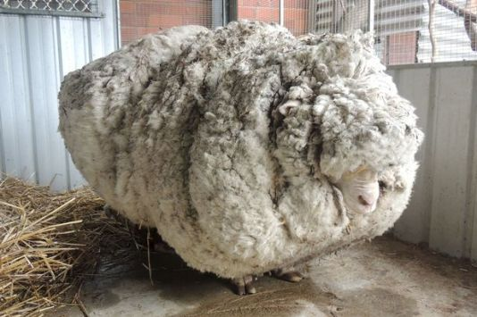 australian-wooly-sheep-shorn-of-record-breaking-fleece