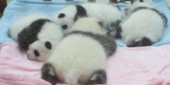 21_800px-baby_pandas