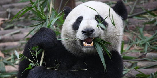 69_800px-giant_panda_eating