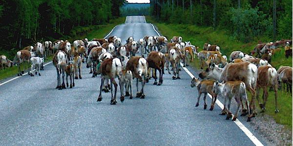 05_reindeer_road_block_kuusamo
