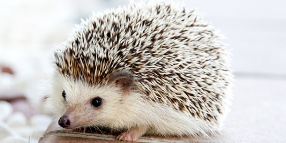 32_hedgehog-468228_960_720