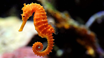 seahorse169-408x2641