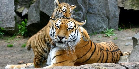 01_tiger-552939_960_720